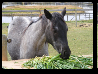 Apparently no one told Dancer that horses don't eat onions! (don't worry, we moved them)