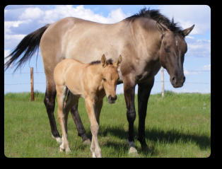 Very sweet tempered double homozygous Grulla mare