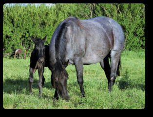 Beautiful double homozygous Blue Roan mare