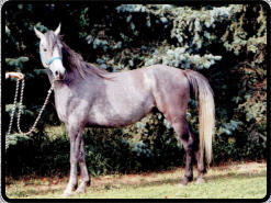 A grey horse at 3 yrs old, notice the head is lighter than the body